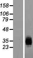 NBL1-11807 - ICAM4 Lysate