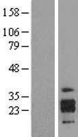 NBL1-11808 - ICAM4 Lysate