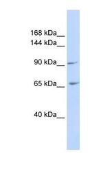 NBP1-59235 - ICAM5