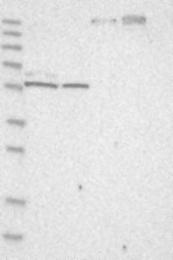 NBP1-87849 - THEMIS2
