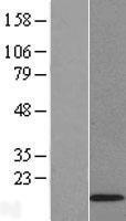 NBL1-11815 - ID3 Lysate