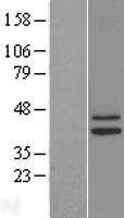 NBL1-11821 - IDH3G Lysate