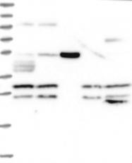 NBP1-81584 - IPP isomerase 2 / IDI2