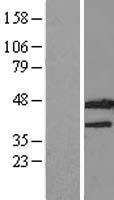 NBL1-11989 - IDO2 Lysate