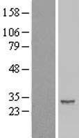 NBL1-11824 - IER2 Lysate