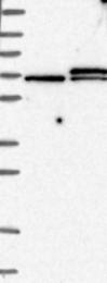 NBP1-87955 - EIF3L / EIF3EIP