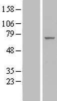 NBL1-10193 - IF3EI Lysate