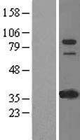 NBL1-11826 - IFI16 Lysate