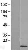 NBL1-10480 - IFI27L2 Lysate