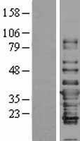 NBL1-11829 - IFI35 Lysate