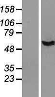NBL1-11830 - IFI44 Lysate