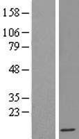 NBL1-11832 - IFI6 Lysate