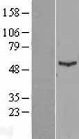 NBL1-11834 - IFIT1 Lysate