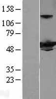 NBL1-11836 - IFIT3 Lysate