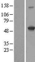 NBL1-11837 - IFIT3 Lysate