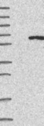 NBP1-87132 - IFIT5