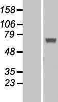 NBL1-11838 - IFIT5 Lysate