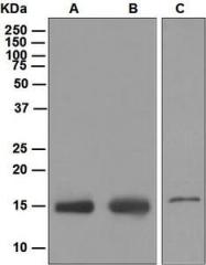 NBP1-95757 - IFITM3