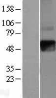 NBL1-11853 - IFN gamma Receptor beta Lysate