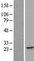 NBL1-11843 - IFNA21 Lysate