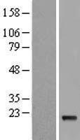 NBL1-11844 - IFNA5 Lysate