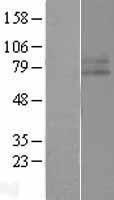 NBL1-11852 - IFNGR1 Lysate