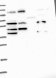 NBP1-87014 - WDR10 / IFT122