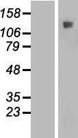 NBL1-11856 - IFT122 Lysate