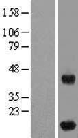 NBL1-11858 - IFT20 Lysate