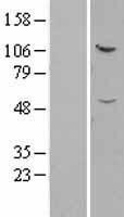 NBL1-11859 - IFT52 Lysate