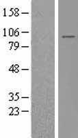 NBL1-11863 - IFT88 Lysate