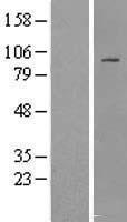 NBL1-11864 - IFT88 Lysate