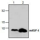 NBP1-45641 - Insulin-like growth factor I / IGF1