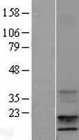 NBL1-11866 - IGF1 Lysate