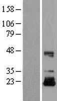 NBL1-11868 - IGF2 Lysate