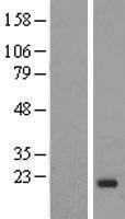 NBL1-11869 - IGF2 Lysate
