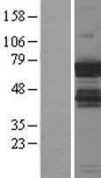 NBL1-11870 - IGF2BP1 Lysate