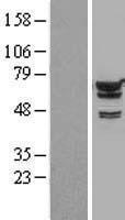 NBL1-11871 - IGF2BP2 Lysate