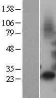NBL1-11873 - IGFBP1 Lysate