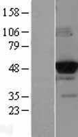 NBL1-11008 - IGLK Lysate