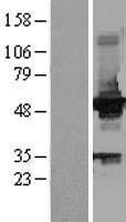 NBL1-11009 - IGLK Lysate