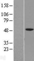 NBL1-11882 - IGSF11 Lysate