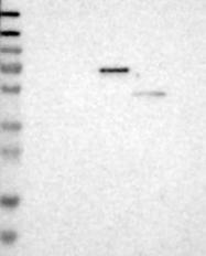 NBP1-85761 - CD316 / IGSF8