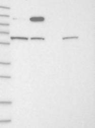 NBP1-93676 - IGSF9