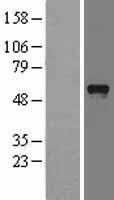 NBL1-14270 - PDZD3 Lysate