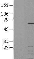 NBL1-11893 - IKZF3 Lysate