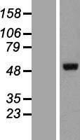 NBL1-11894 - IKZF5 Lysate