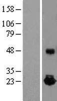 NBL1-11895 - IL10