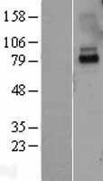 NBL1-11896 - IL10RA Lysate