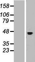 NBL1-11899 - IL11RA Lysate